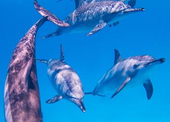 Osttpazifische Delfine  im Roten Meer