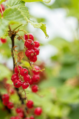 Bush of red currant  in a garden with rain water drops. Shallow depth of field.