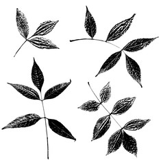 Set of ash leaves silhouettes