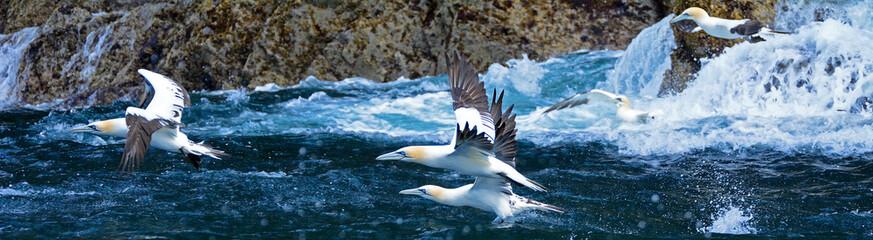 Northern gannets, Bass Rock, Scotland
