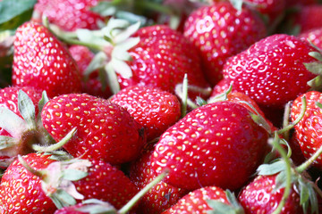 Harvest of a large ripe fresh red strawberry