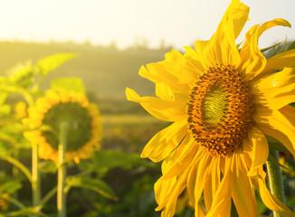 Sunflower close up. Bright yellow sunflowers