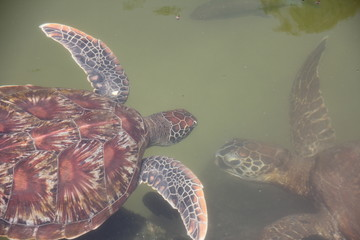 Green Sea Turtle Baby, Chelonia Mydas / Nungwi, Zanzibar, Tanzania, Indian Ocean, Africa