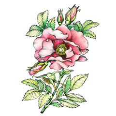 Graphic the branch flowering dog rose (names:  Japanese rose, Rosa rugosa). Black and white outline illustration with watercolor hand drawn painting. Isolated on white background.