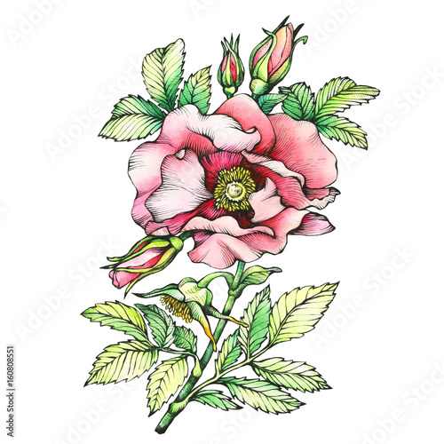Graphic the branch flowering dog rose names japanese rose rosa graphic the branch flowering dog rose names japanese rose rosa rugosa mightylinksfo