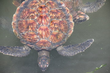 Green Sea Turtle, Chelonia Mydas / Nungwi, Zanzibar, Tanzania, Indian Ocean, Africa