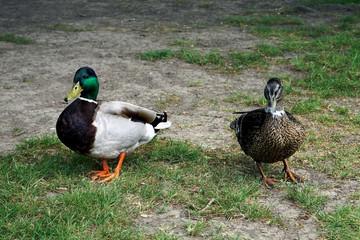 Entenpärchen auf Wanderschaft im Gras