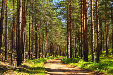 Pine forest.Forest road.