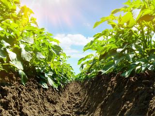 Fotoväggar - Kartoffelpflanzen