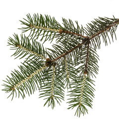 Spruce branch, isolated on white background