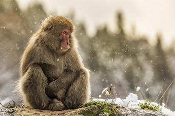 Snow monkeys of Jogokudani valley, Nakano, Nagano prefecture, Japan.