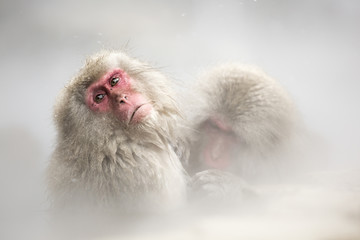 Snow monkeys of Jogokudani valley, Nakano, Nagano prefecture, Japan.