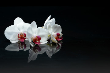 Orchid flowers on black