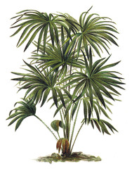 Plant - Livistona (Corypha) australis - Cabbage-tree Palm / Vintage illustration