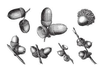 set of acorns / vintage illustration