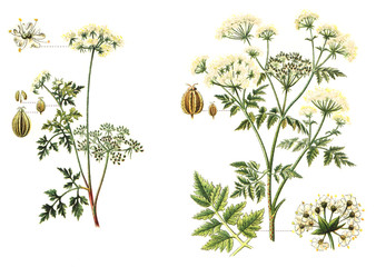 left Garden Hemlock (Aethusa Cynapium) and right Poison Hemlock (Conium maculatum) - poisonous plants / vintage illustration  Wall mural