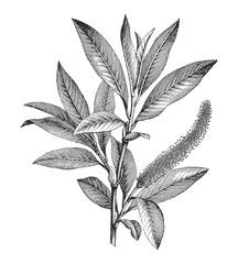 Crack Willow (Salix fragilis) male branch / vintage illustration