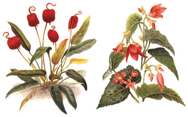 left Flamingo Flower (Anthurium Scherzerianum) and right Begonia boliviensis / vintage illustration  Wall mural
