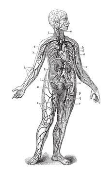 Human anatomy / vintage illustration