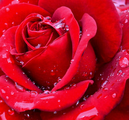 Red rose with water drops on petals close up