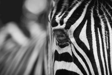 Beautiful Zebra Eye in zoo