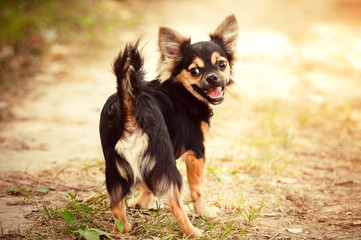 Fluffy chihuahua walking in park