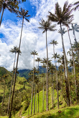 Tall wax palms in pasture land outside of Salento, Colombia.