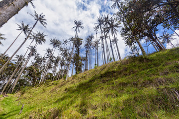 Wax palms on rugged terrain outside of Salento, Colombia.