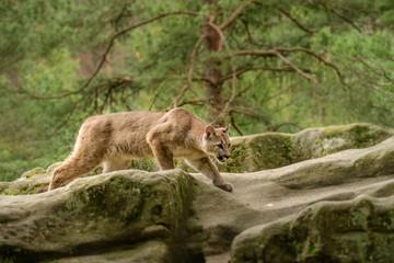 Fotorollo Puma Cougar (Puma concolor)