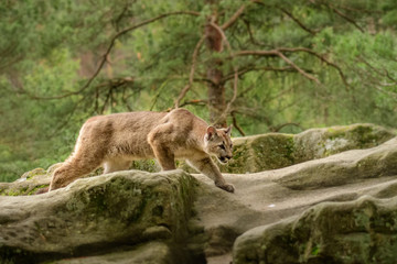 Photo sur Toile Puma Cougar (Puma concolor)