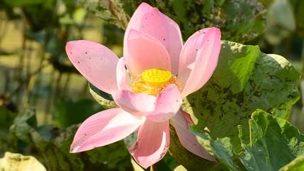 Search photos leaf lotus flower 015 big pink blooming lotus flower mightylinksfo