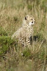 Cheetah, South Africa