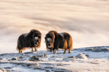 Muskox standing on snowy landscape at Dovrefjell National Park