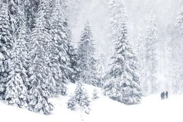 Evergreen tree forest in winter, Saint-Cergue, Vaud, Switzerland