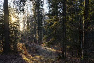 Spruce (Picea abies) forest at sunrise, Saint-George, Vaud, Switzerland