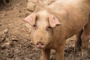 Schwein guckt traurig von vorne Freiland Haltung