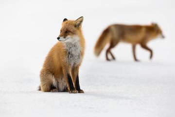 A fox on the snow.