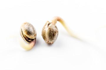 Cultivation of cannabis, germination of cannabis marijuana seeds