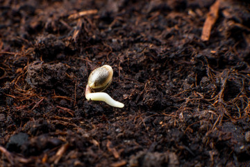 Cannabis seeds in the soil, germination and cultivation of plants