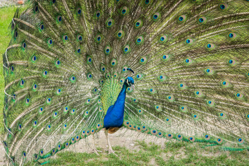 beautiful blue peacock with its feathers out