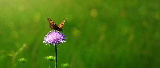 Orange butterfly on purple caucasian scabious.