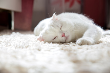 young white scottish british fold cat lie on the carpet