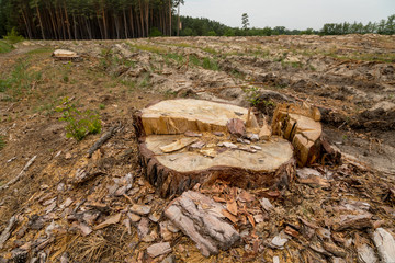 Deforestation. Problems of the planet's ecology, cutting down pine forests. Stump in the foreground