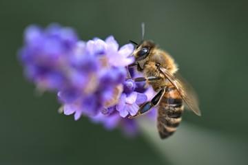 Tuinposter Lavendel Abeille dans la lavande