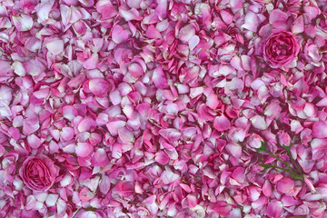 Background of rose petals. Flowers rose on background Many pink rose petals densely piled in the background