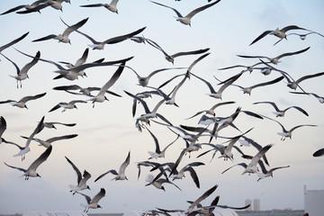Flock of seagulls swarming