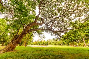 Big tree in public park.