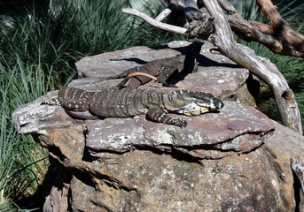 Lizard (Water monitor or Asian water monitor) is a large lizard is type reptile well-developed limbs. Varanus nebulosus.