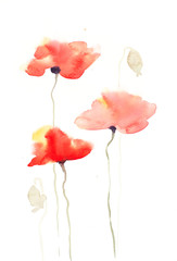 Poppy flowers on white, watercolor painting