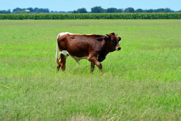 Young Longhorn Bull/Young Longhorn bull walking in a grassy field